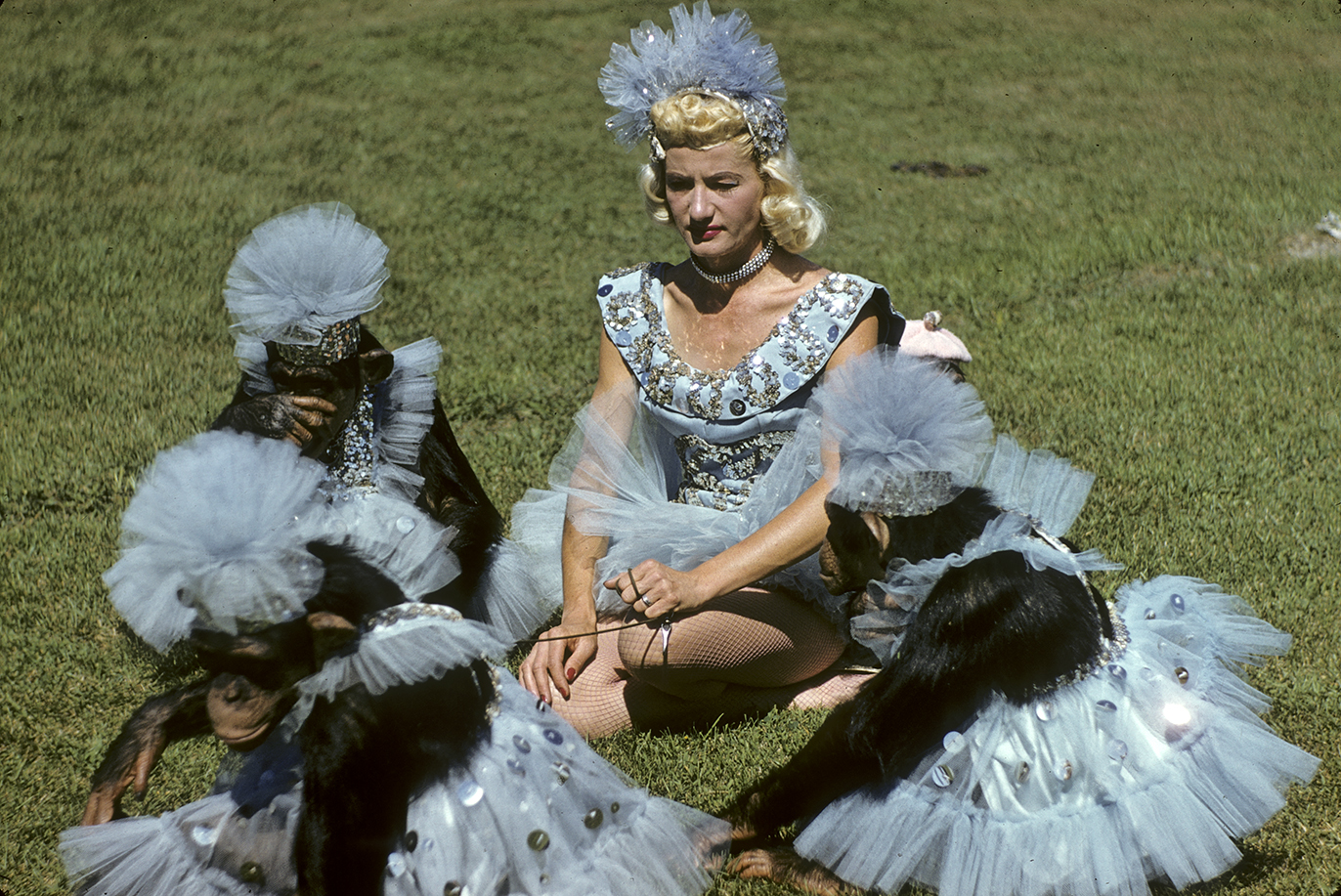 Woman and chimpanzees are sitting on grass, all are wearing light blue and silver outfits with tutus and headpieces.